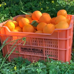 Naranjas variedades Berna y...